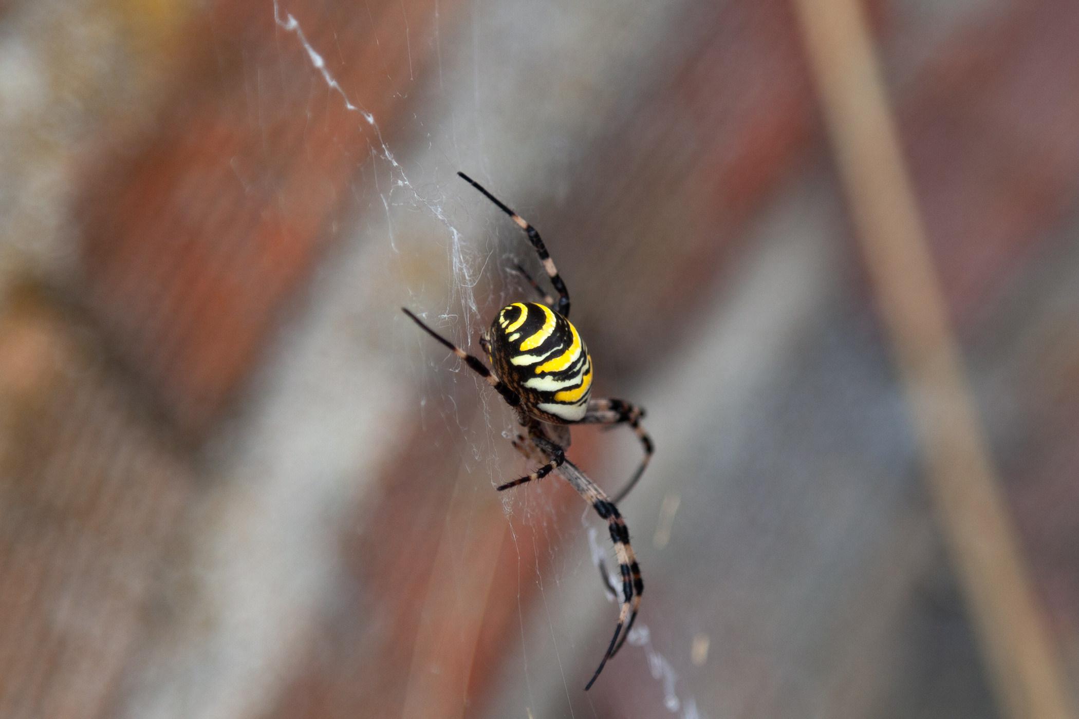La araña tigre en su telaraña