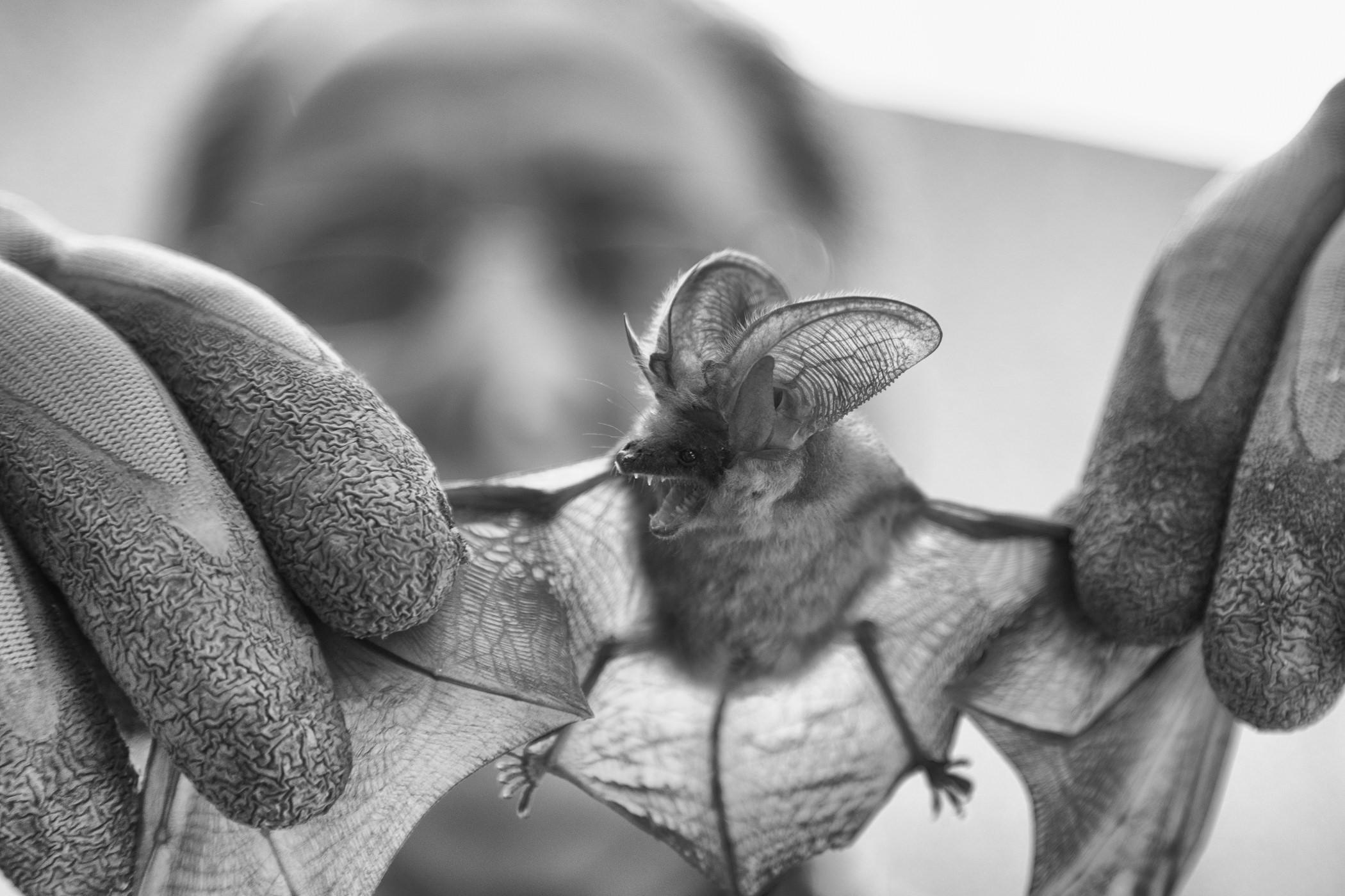 Murciélago chillando